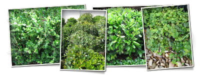 Land Pro Creations - Shrubs